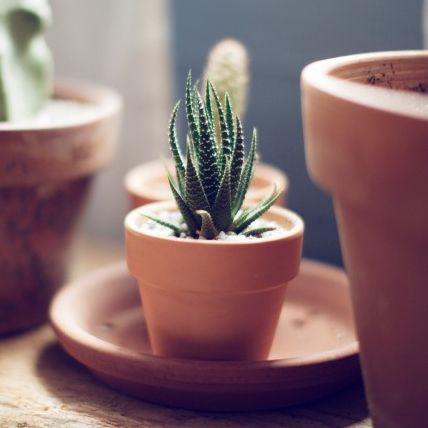 potted haworthia