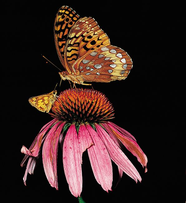 The sense of perspective in this photo is just amazing. judywhite took this stellar snapshot of a Great Spangled Fritillary and a Peck's Skipper on a purple coneflower - learn her secrets in the latest Interview With the Pros article on the Birds and Blooms Blog.