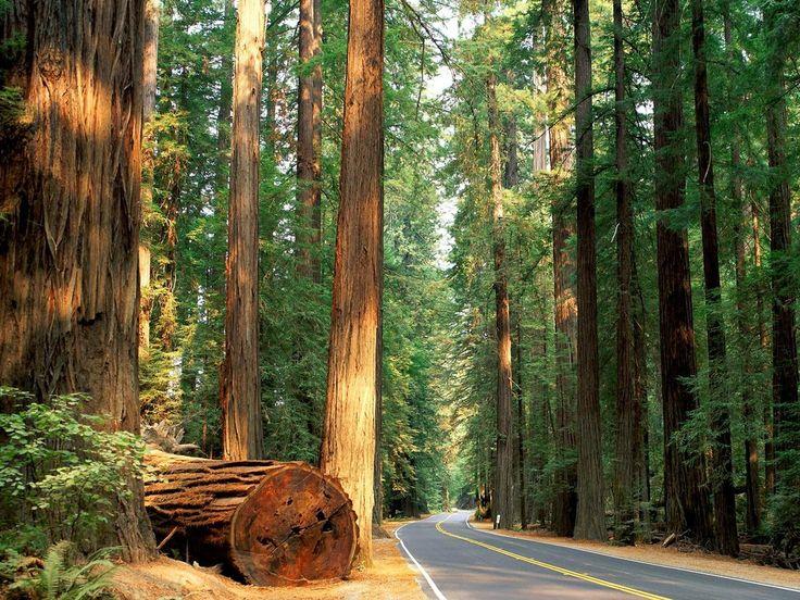 California's Redwood Forest.  Growing up we would vacation in Redwood forests in California. Great memories.