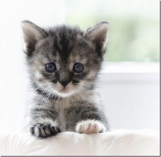Really Cute Kitten dailykittencatsbecom Pinterest