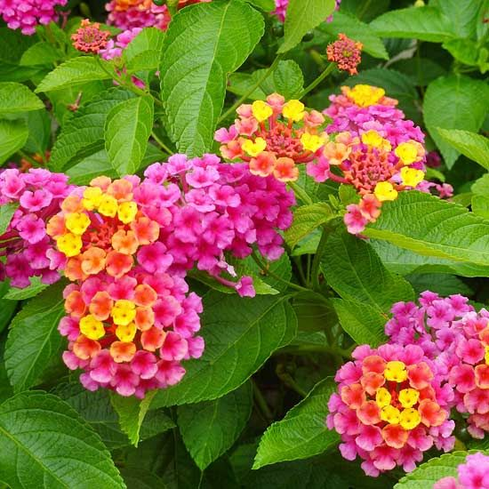 Landmark Sunrise Rose Improved Lantana. Loves heat and drought tollerant once established.