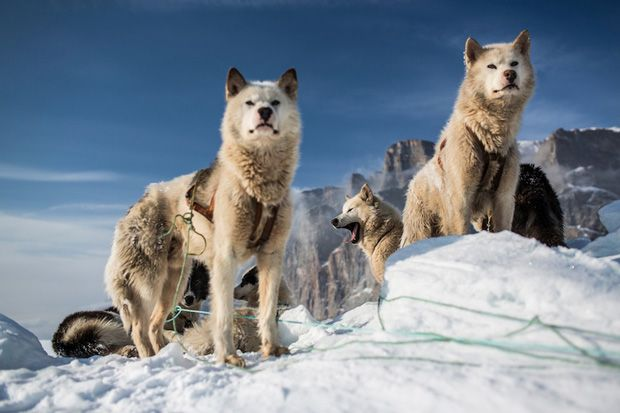 Photographs Reveal the Difficult Life of Hunters in Northern Greenland. Sled dogs.