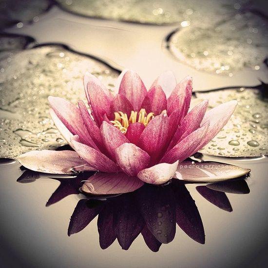 Flor de loto: son perfectas para activar el sector Este de nuestras casas, aportan paz y prosperidad