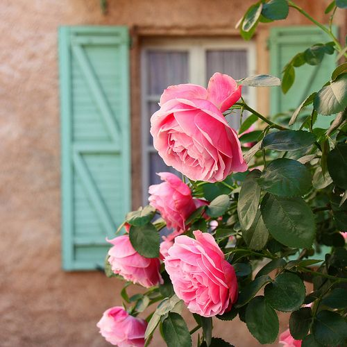 Provenza rose