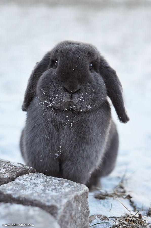 cutest grey bunny~ by Ida Lundahl