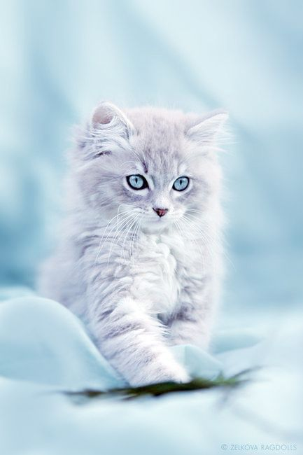 Adorable Rag Doll Kitten