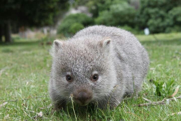 Baby Wombat, another animal only found in Australia. They get big and are great at burrowing! @Sorrel Chandler