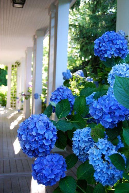 Come cambiare il colore dei fiori delle ortensie guida - Ortensie colori ...