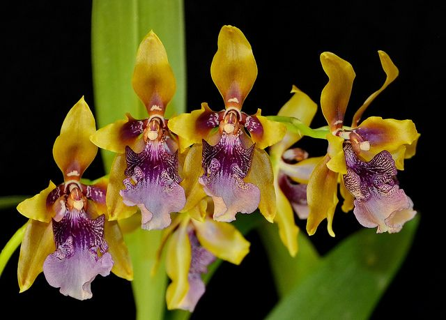 Odontoglossum wyattianum - Flickr - Photo Sharing!