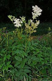 Filipendula Ulmaria