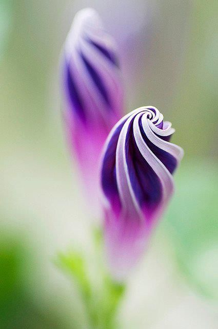 Purple Morning Glory | Flowers | Pinterest