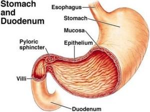 Stomach and Duodenum diagram   Nursing VI   Pinterest