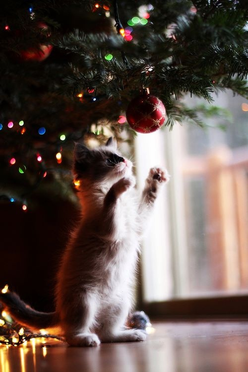 #cat #christmas #beauty