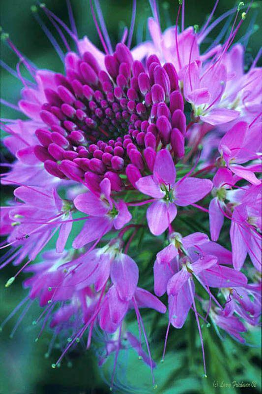 ✯ Purple Cloeme