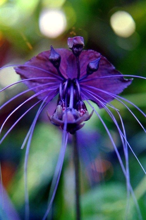 Bat Orchid