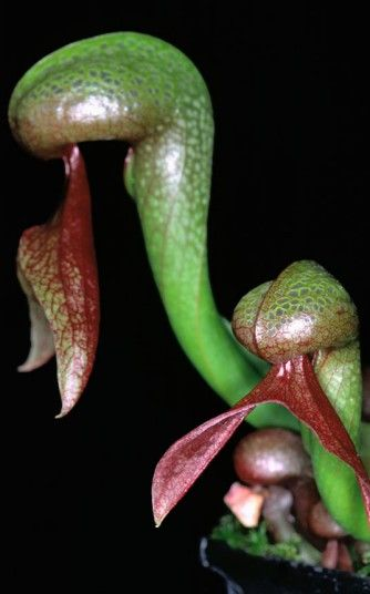 Darlingtonia Californica - Carnivorous Pitcher Plant