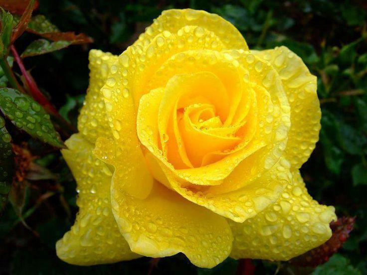 Risultato immagine per rosa gialla