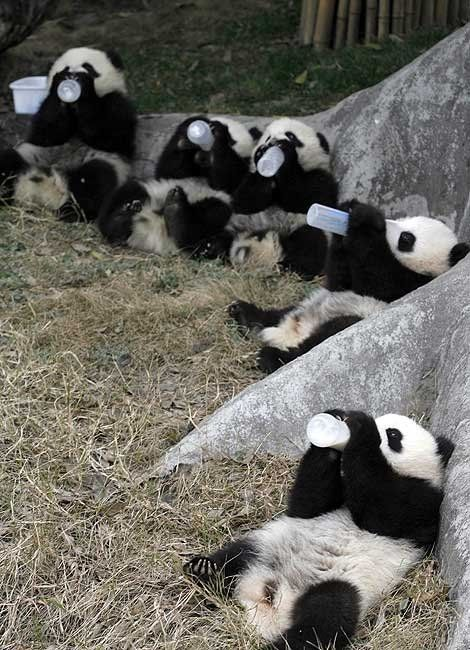 panda drinking club