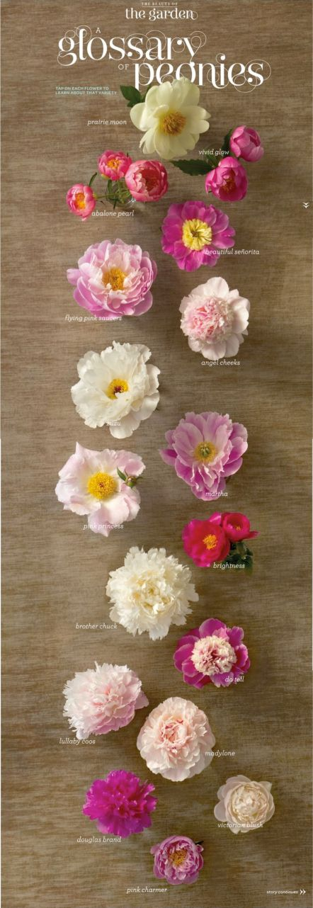 Glossary of Peonies