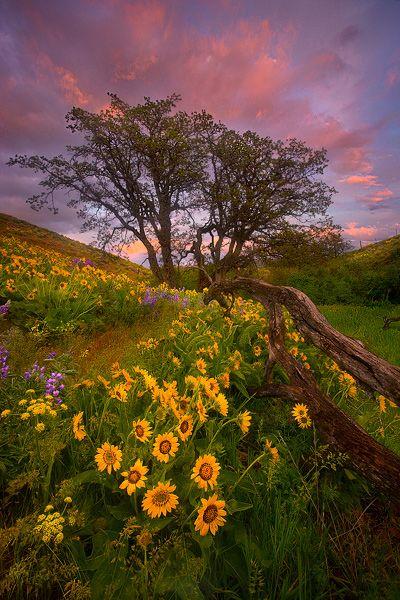 Columbia Hills, Washington, Fiore di campo, Fiore, Balsamorhiza, tramonto, bello