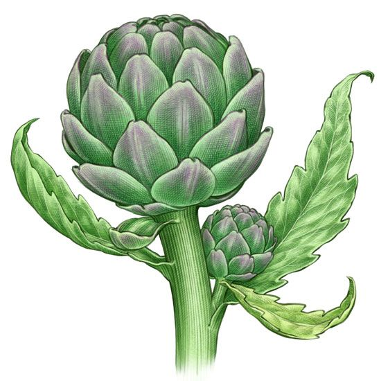 I carciofi sono i boccioli commestibili dei fiori di una pianta cespugliosa della famiglia delle Asteraceae