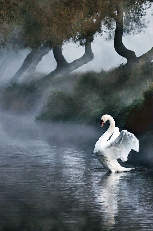 National Geographic, swan