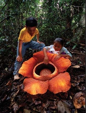 http://endangeredspeciesprintproject.blogspot.com/2010/04/endangered-strangers-rafflesia.html