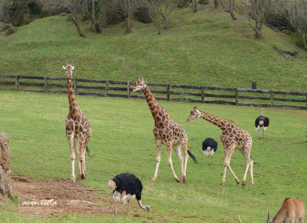 Cabarceno. Jirafas, avestruces y elands