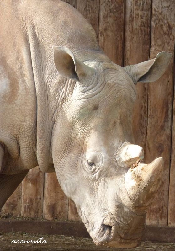 Cabárceno. Rinoceronte macho
