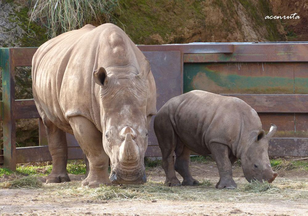 Cabárceno. Rinocerontes
