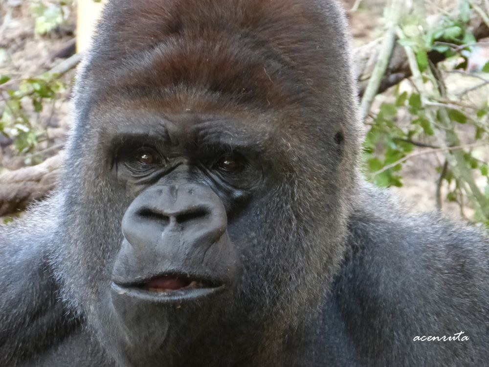 Parque de la Naturaleza de Cabárceno. Gorila