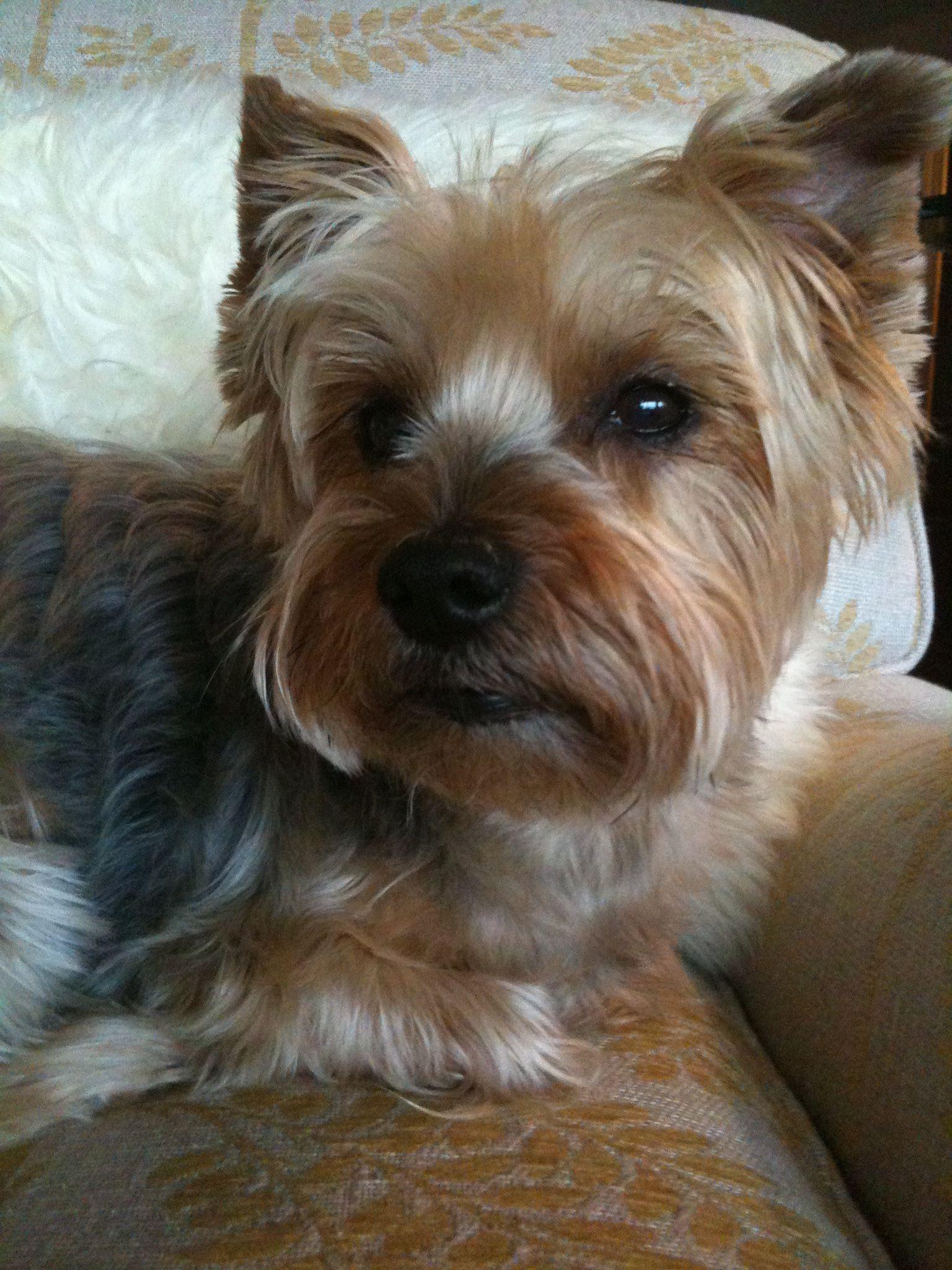Yorkie Terrier Short Haircuts