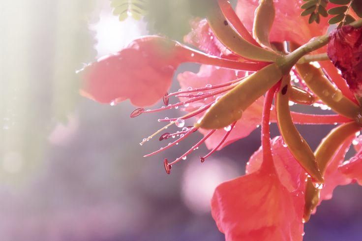 Flamboyan by Keshen.deviantart... on @deviantART