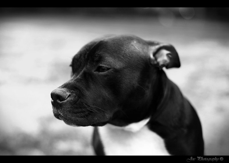 Staffordshire Bullterrier by KeiraBeira.devian... on @deviantART