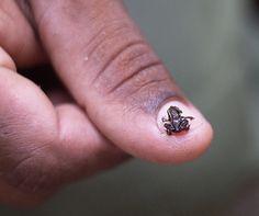 La ranita cubana es tan diminuta que se siente a sus anchas sobre una uña humana. Foto: Internet