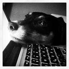 , #work, #jackrussell, #dogs, #kaja