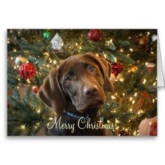 CHOCOLATE LAB On Pinterest Chocolate Labs Chocolate Lab