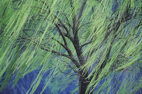 Image result for weeping willow spring