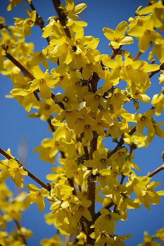 forsythia..had these in my yard as a child. They always bloomed at Easter.