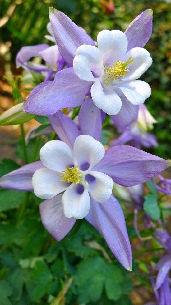 PicsVisit: Columbine Flowers Garden Love | Secret Garden ...