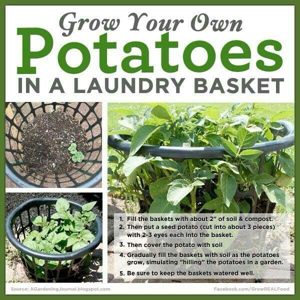 Growing potatoes ina laundry basket