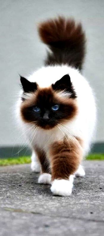 beautiful Himalayan cat ❤❤❤