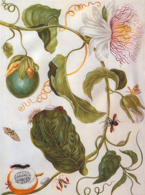 Maria Sibylla Merian, Passion flower plant and flat-legged bug, c. 1701-5