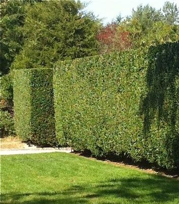 privet hedge.  good for privacy for my future back yard plan bye bye ugly neighbors siding