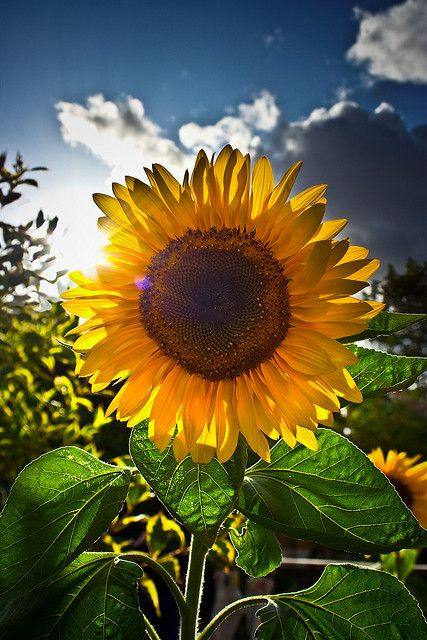 What Plants Grow Well with Sunflowers?