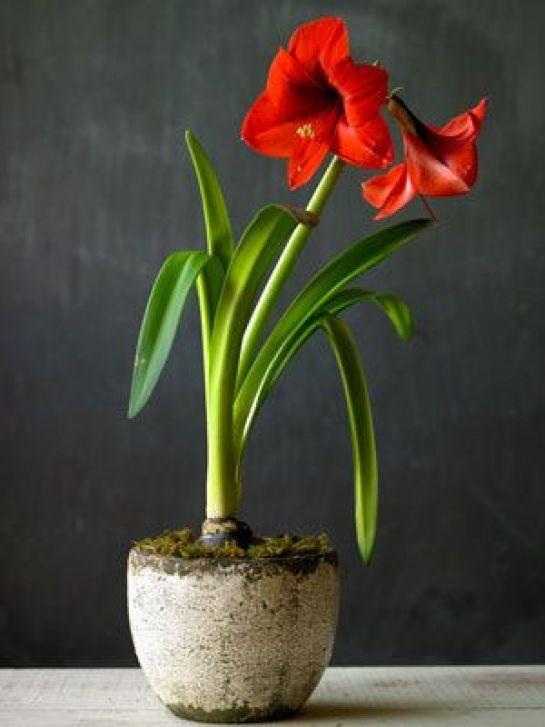 Il bulbo dell'Amaryllis può essere piantato da ottobre e febbraio, per una fioritura che sopraggiungerà circa due mesi dopo la messa a dimora