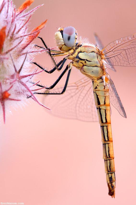 Dragonfly Profile | Erez Marom
