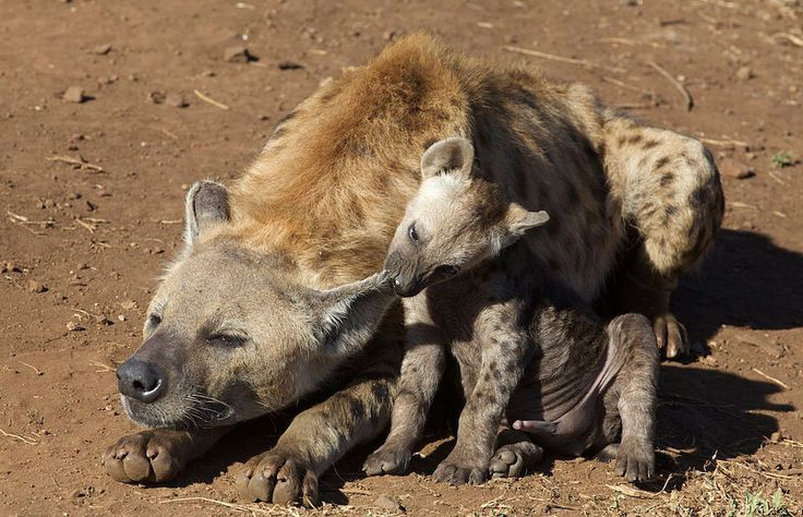 Spotted hyena with pup in Kruger National Park, South Africa