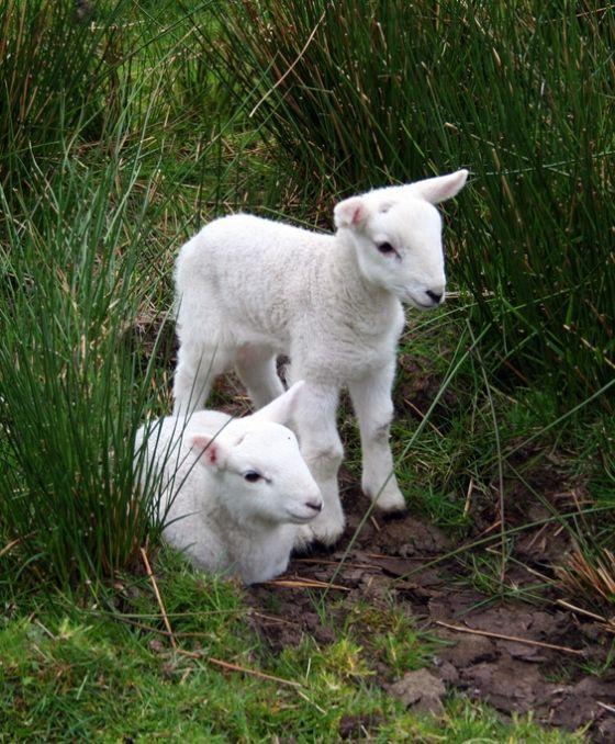 Lambs.
