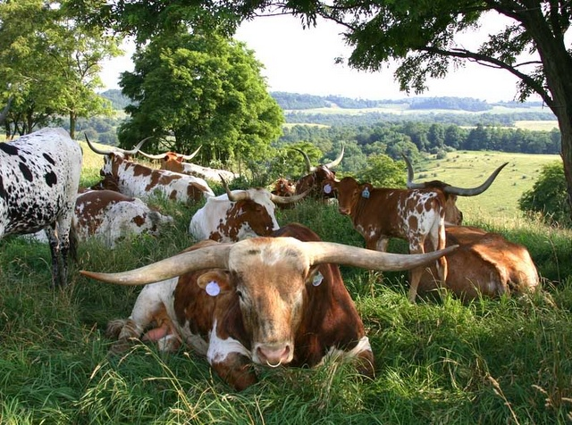 Longhorns under pecan trees. That's about as Texan as it gets. TexasGotItRight.com
